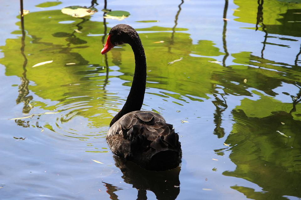 Swan, Bird, Waterfowl, Black Swan, Water Bird