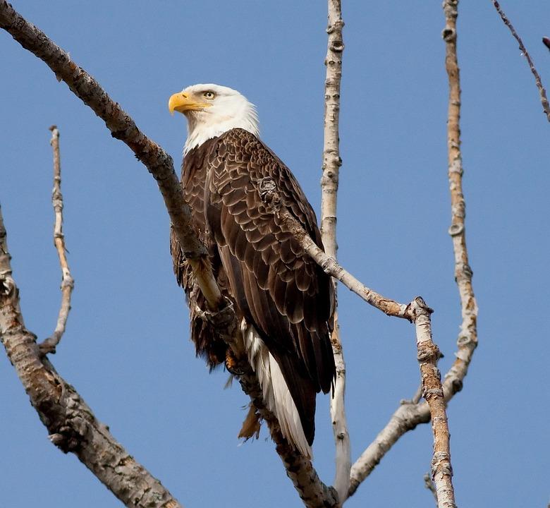 Free Photo Bird Symbol Animal Bald Feather Nature Eagle Max Pixel
