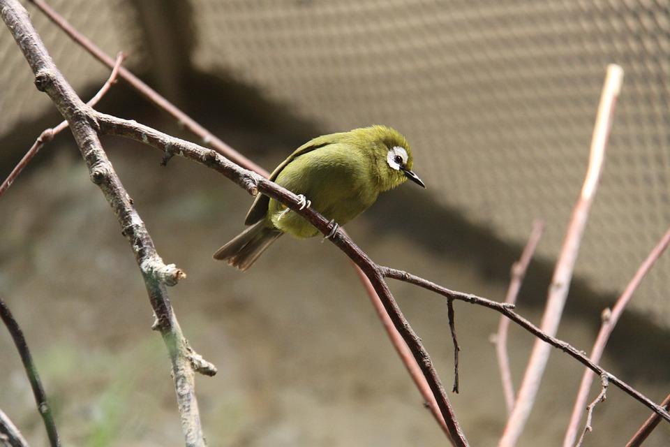 Kikuyu Glasses Bird, Mountain Glasses Bird, Bird, Tiny