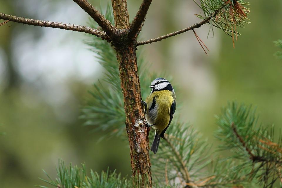 Tit, Parus Major, Tree Sitting On A Branch, Bird