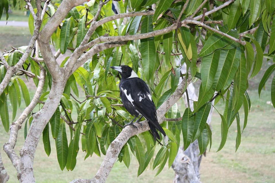 Magpie, Bird, Australia, Tree, Fauna, Aves, Black