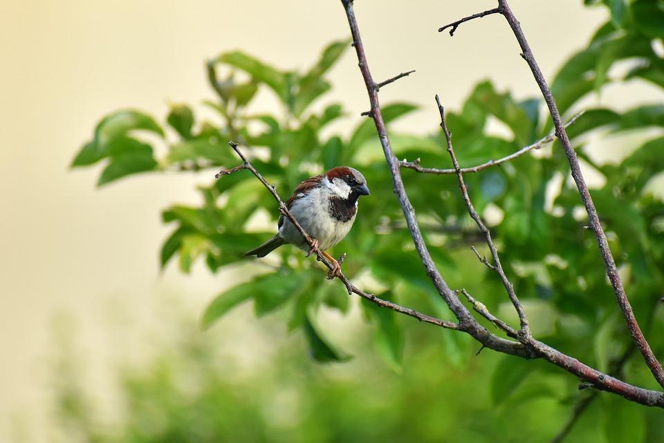 Sparrow, Bird, Tree, Pen, Garden, Animal, Branch