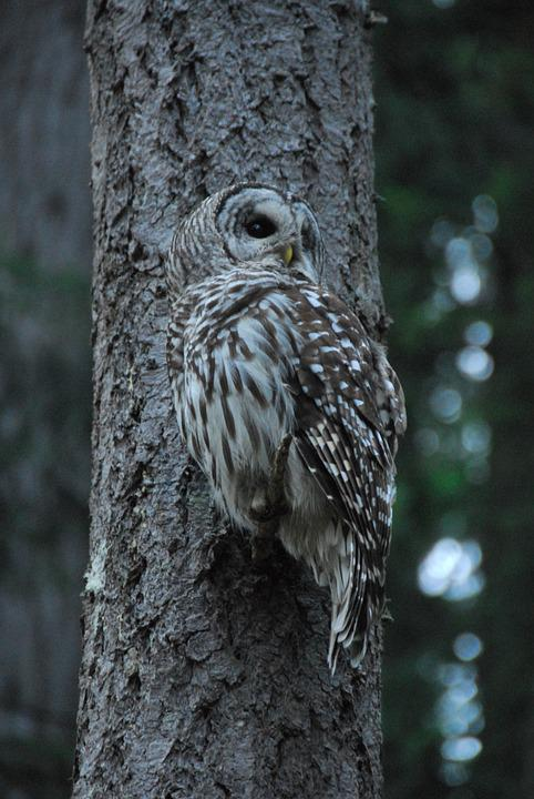 Owl, Tree, Perched, Bird, Nocturnal, Carnivore