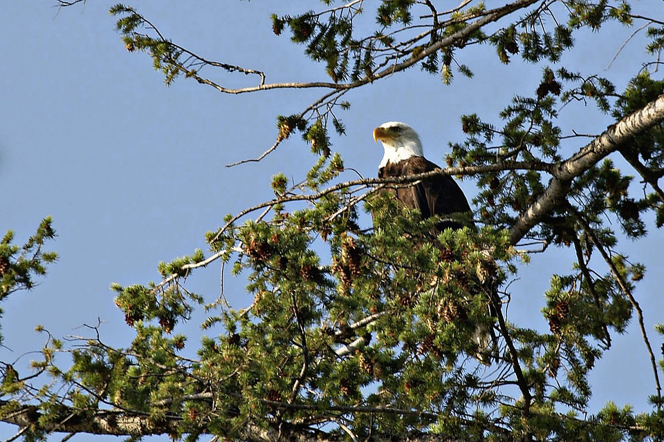 Bald Eagle, Bird, Raptor, Landed, Animal, Nature, Tree