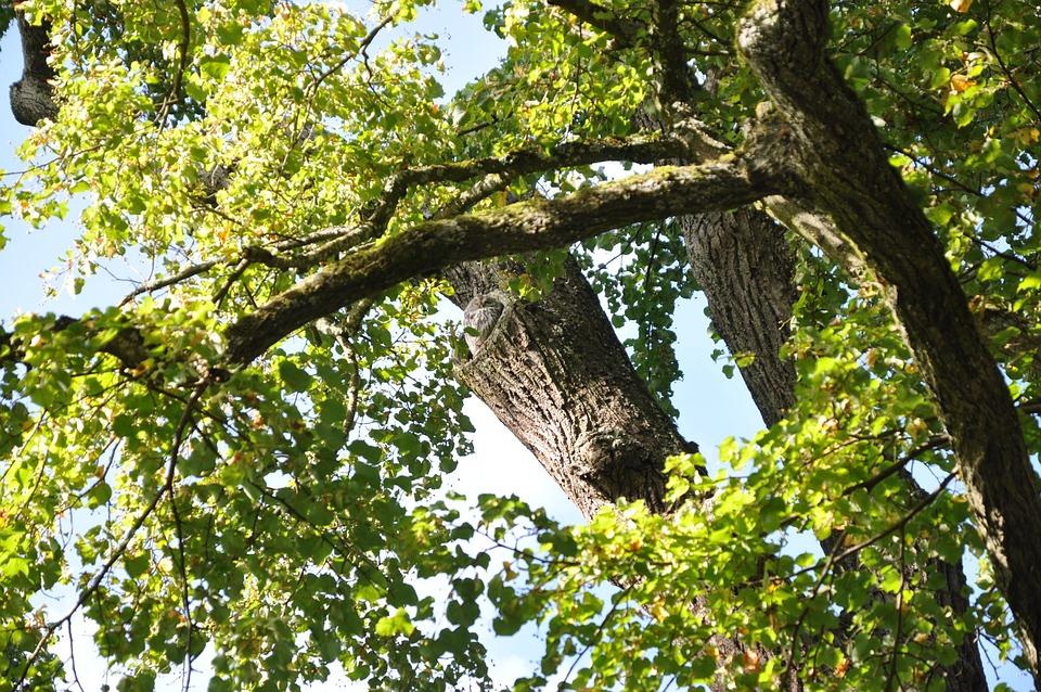 Tree, Owl, Nature, Bird, Wild Bird, Night Active