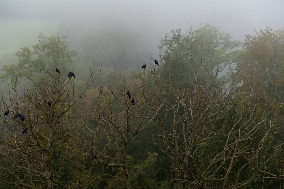 Crow, Forest, Fog, Trees, Bird, Nature, Green, Weird