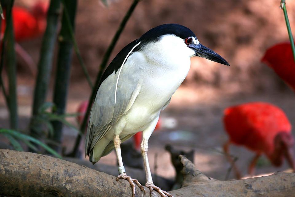 Bird, Tropical, Striated Heron, Fish Eater