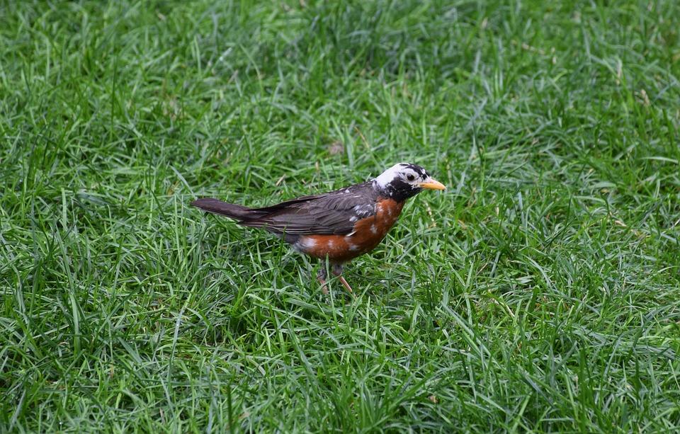 American Robin, Turdus Migratorius, Vándorrigó, Bird