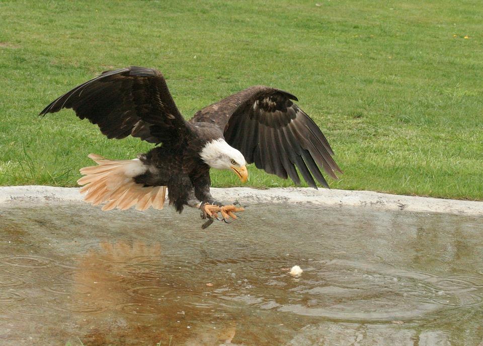 Adler, Raptor, Animal, Close, Bird, Bill, View, Feather