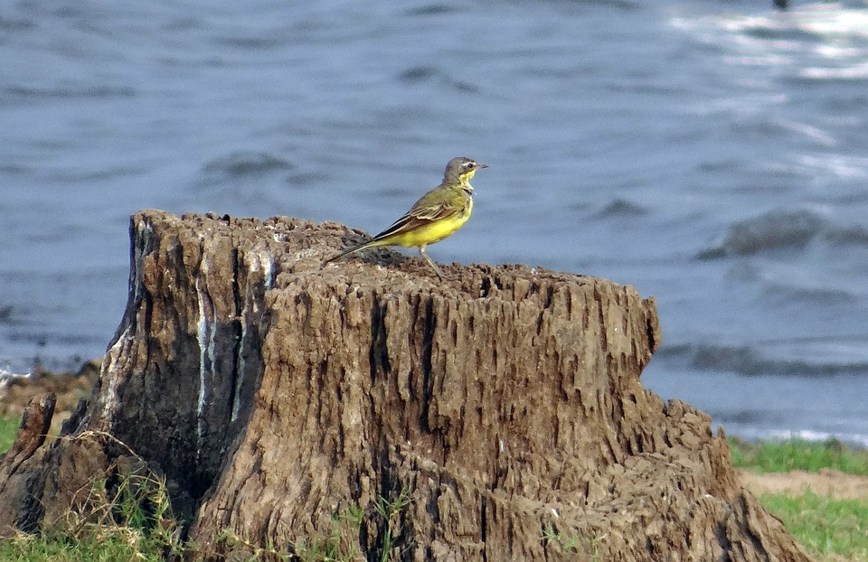 Yellow Wagtail, Wagtail, Bird, Motacilla Flava, Stump