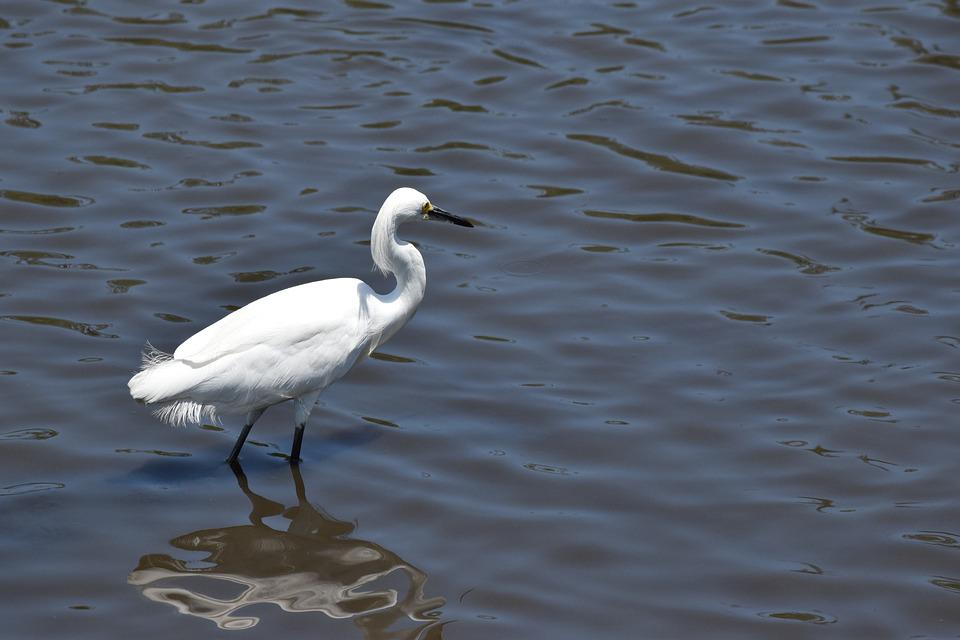 Crane, Water, Bird, White, Animal