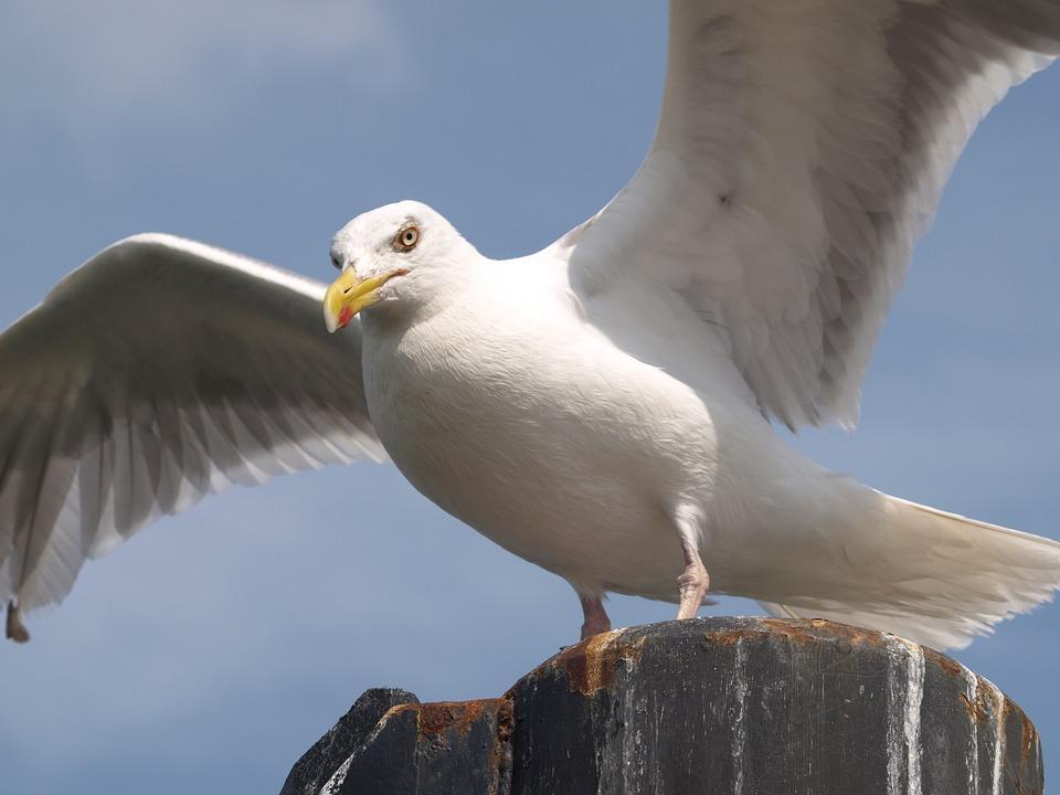 Seagull, Wing, Bird, Water Bird, Animal, Feather