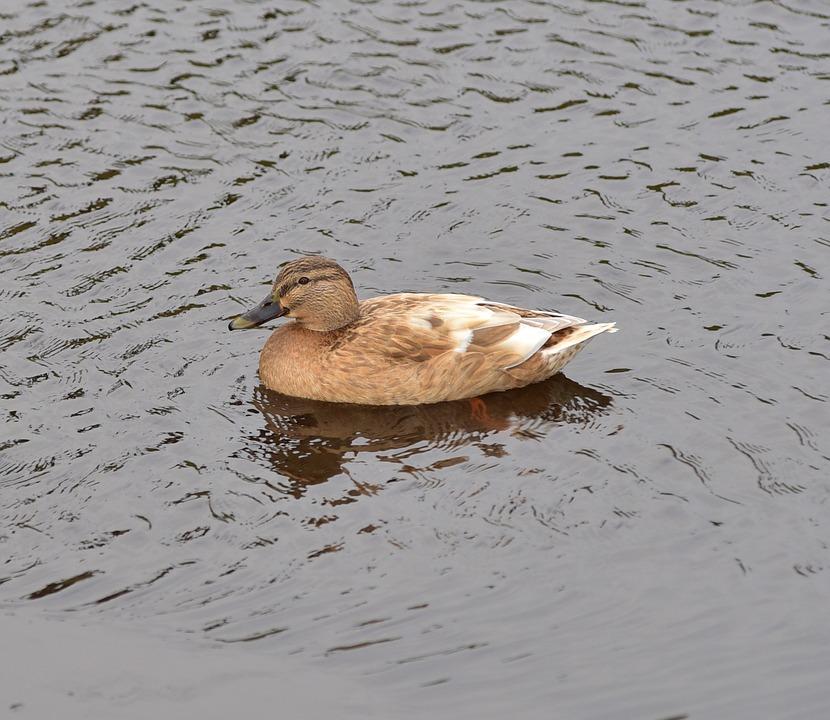 Duck, Plumage, Bird, Water Bird, Duck Bird, Water