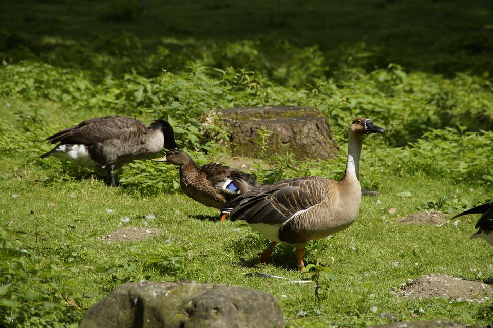 Goose, Duck, Water Bird, Bird, Meadow, Animal World