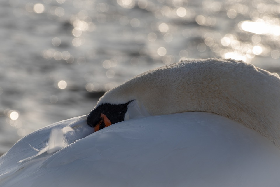 Swan, Water, Sleeping, Bird, Water Bird, White, Animal