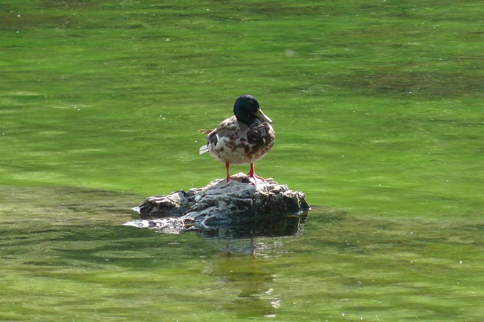 Duck, Water, Bird