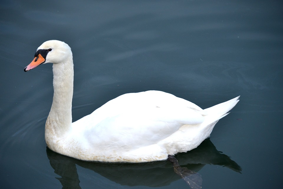 Swan, Swan In The Water, Water, Bird, Swans, Water Bird