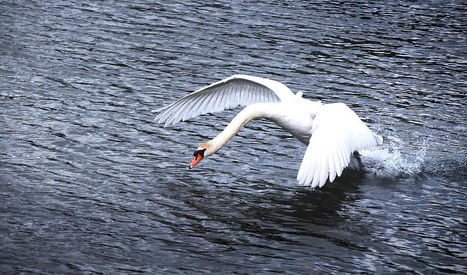 Swan, Water, Start, Flight, Wing, Bird, Animal, Nature