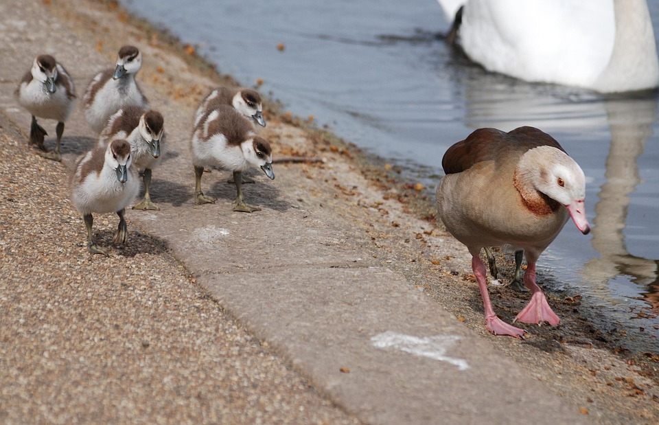 Geese, Waterfowl, Gosling, Chicks, Mother, Bird