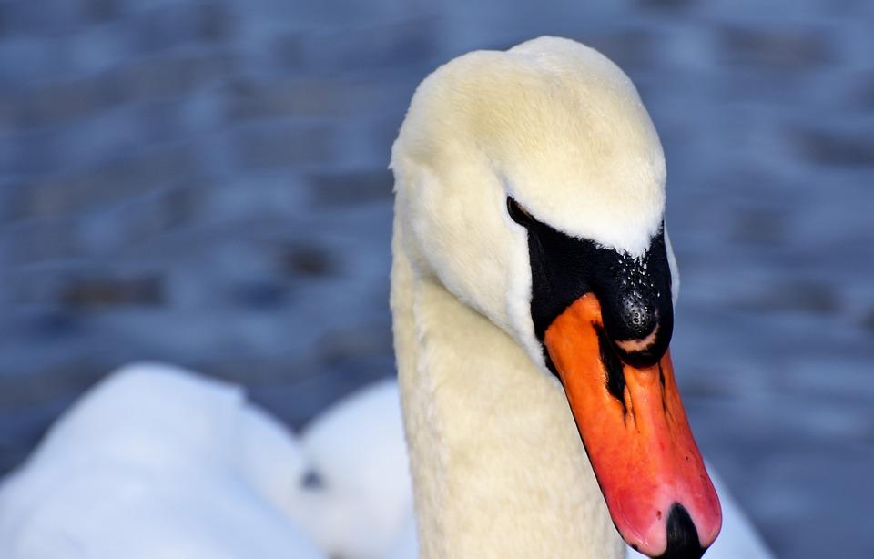 Swan, Water Bird, Schwimmvogel, Pride, Waterfowl, Bird