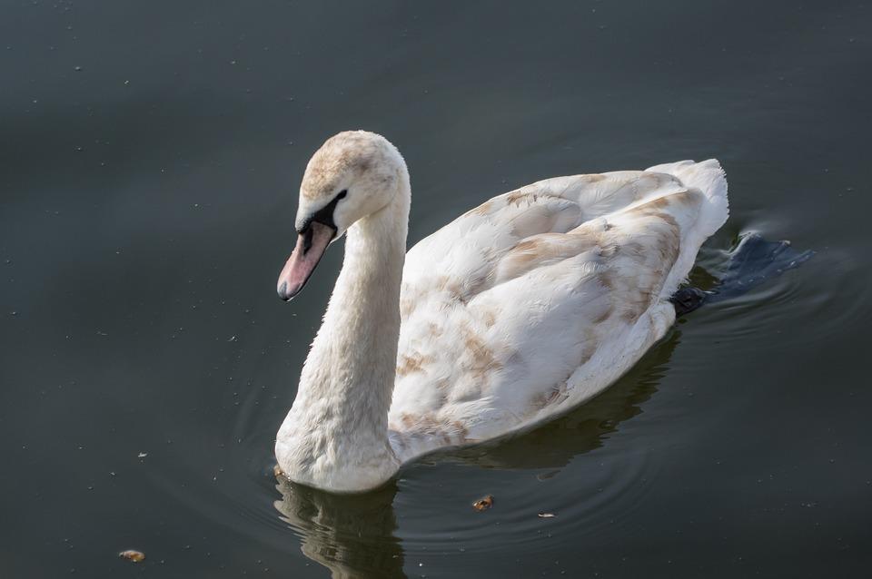 Swan, Waters, Bird, Nature, Lake, Water, Water Bird