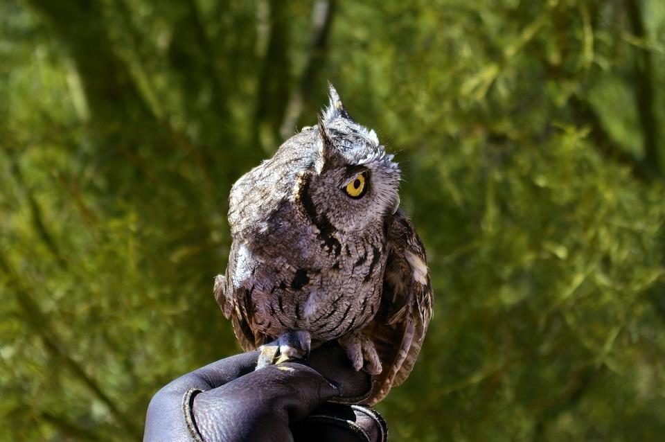 Western Screech Owl, Owl, Bird