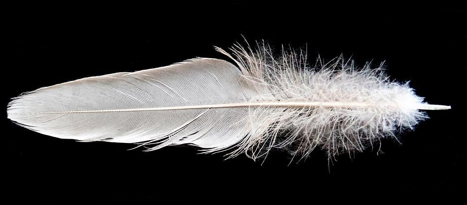 Feather, White, Bird, Plumage, Flight, Wildlife, Nature