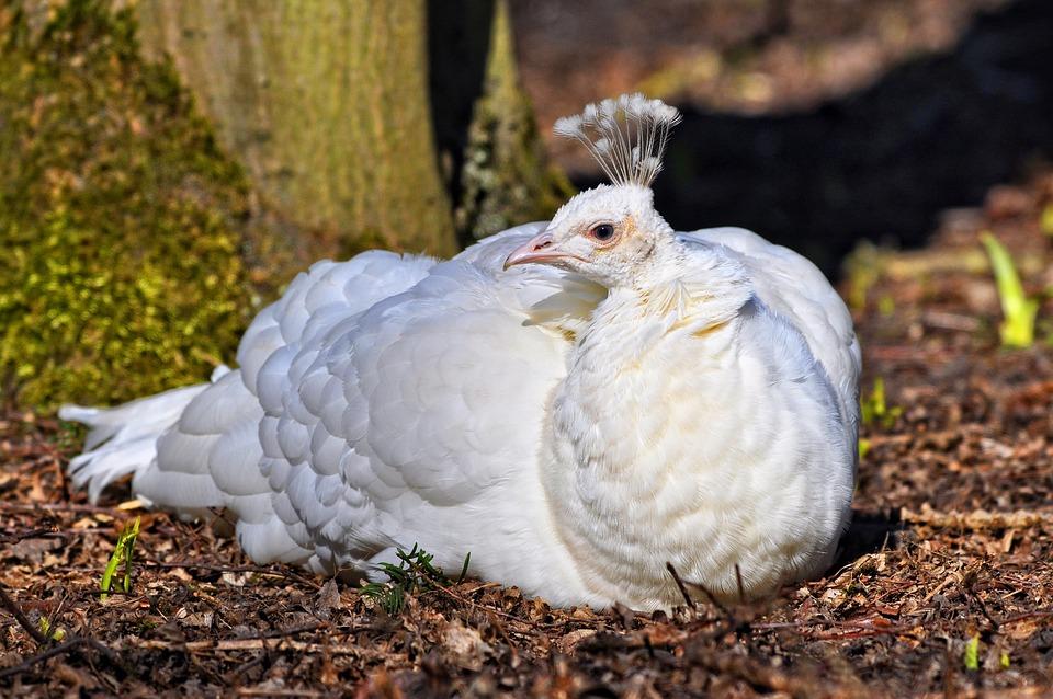 White Peahen, Peahen, Peafowl, Bird, Female, Domestic