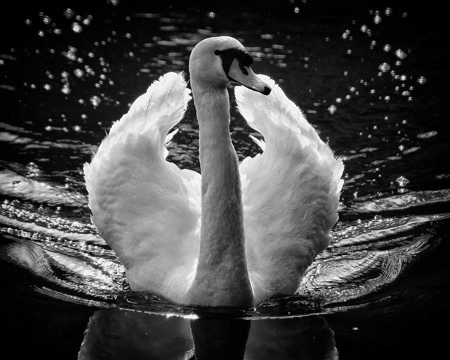 Swan, Wings, Feathers, Water, Swim, Bird, White, Lake
