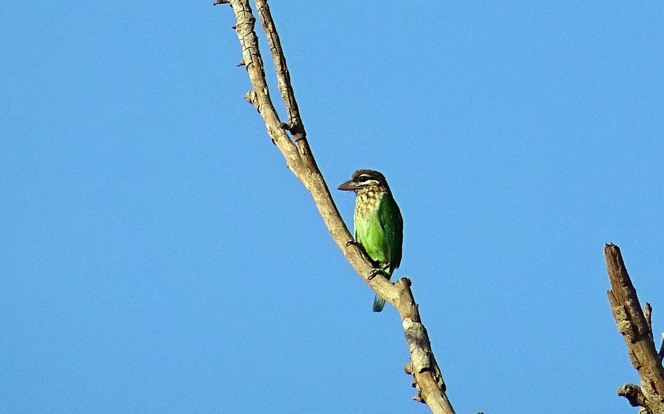 Bird, Barbet, White-cheeked Barbet, Small Green Barbet