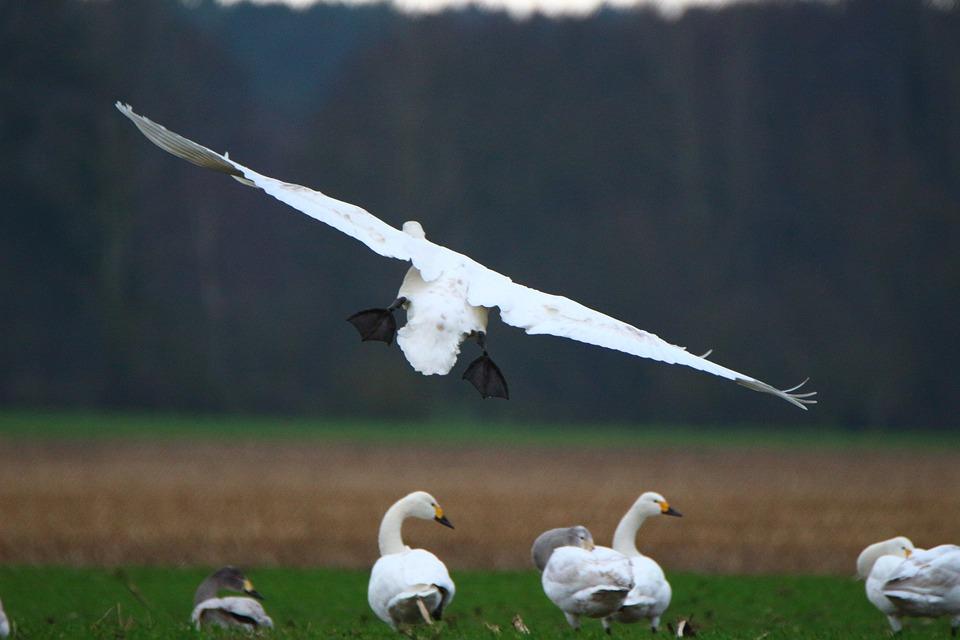 Swan, Whooper Swan, Flight, Bird, Swans, Flock Of Birds