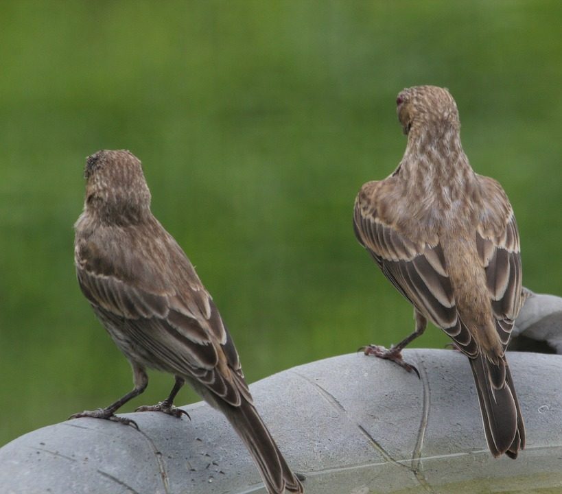 Bird, Finch, House Finch, Nature, Animal, Wild