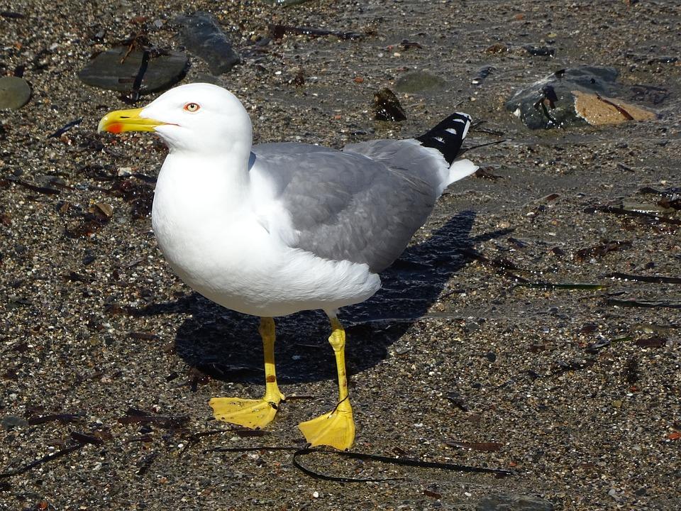 Birds, Seagull, Bird, Wild Life, Body Of Water