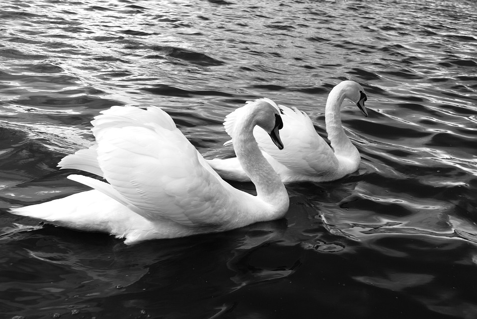 Swans, Lake, Bird, Nature, Wild Life, Water Birds