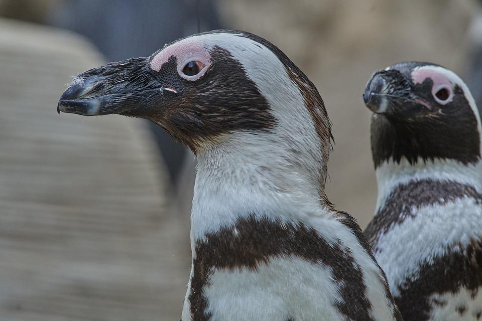 Penguin, Animal World, Bird, Animal, Nature, Wild