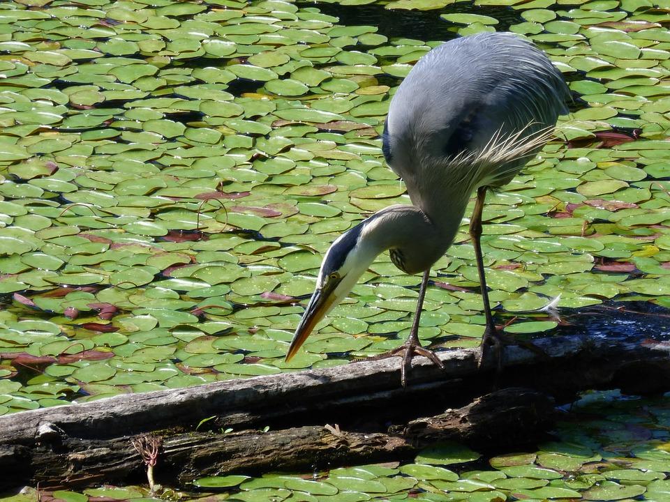 Heron, Bird, Wetland, Nature, Wildlife, Water, Wild