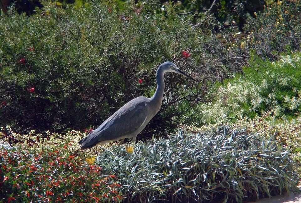 White-faced Heron, Bird, Wild, Australia, Grey, Garden