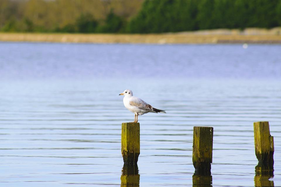 Bird, Gull, Nature, Wildlife, Wild, Feather, Wing