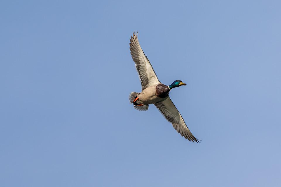 Duck, Flight, Bird, Wing, Wildfowl, Flying, Freedom