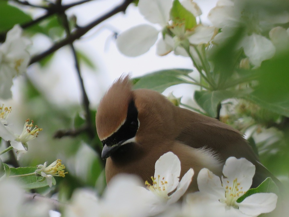 Cedar Waxwing, Bird, Apple Blossom, Wildlife