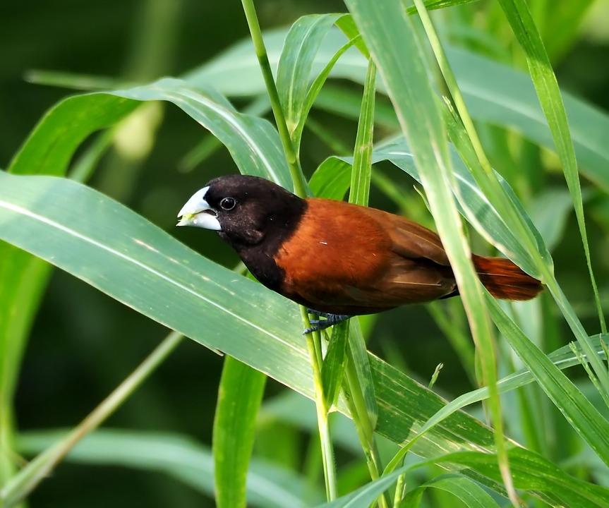 Chestnut Munia Male, Perched, Wild, Wildlife, Bird