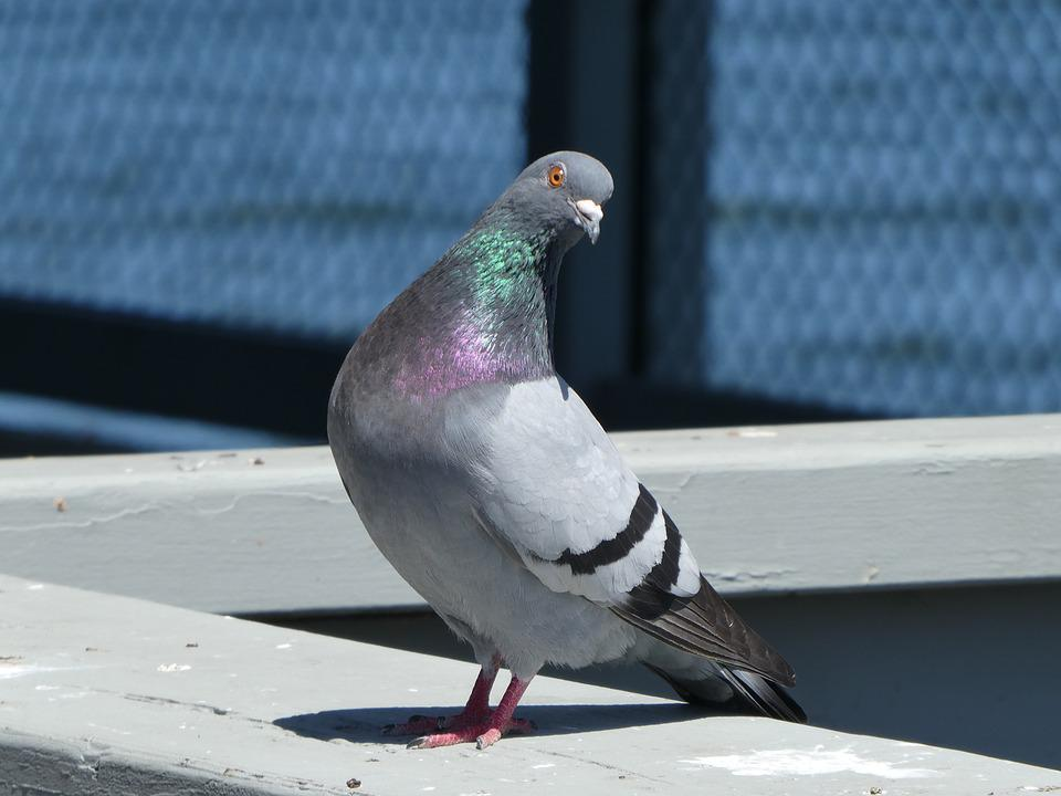 Pigeon, Bird, Colorful, Curious, Dove, Wildlife, Pretty