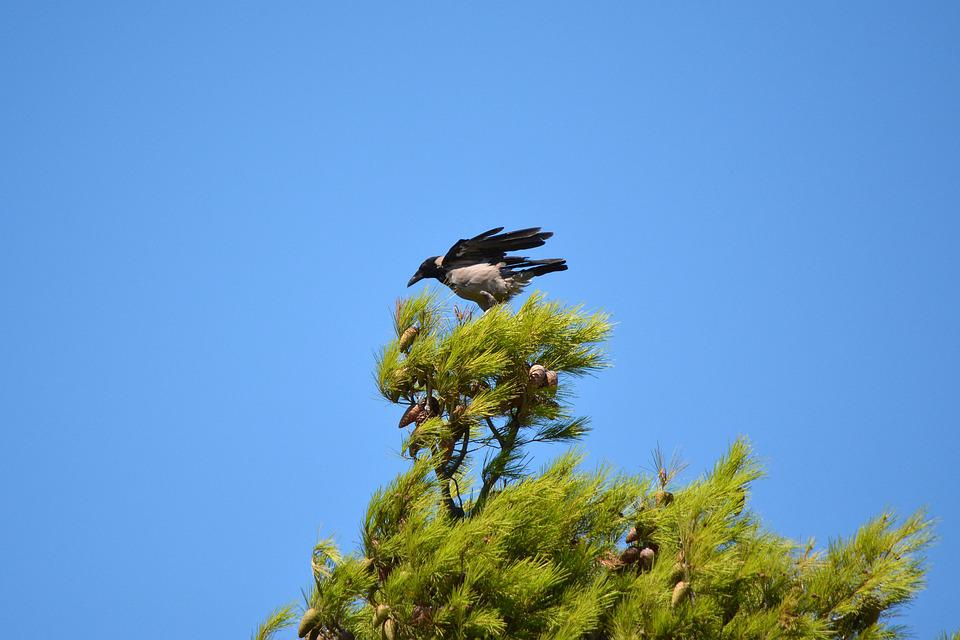 Crow, Bird, Nature, Wildlife, Ornithology, Fly