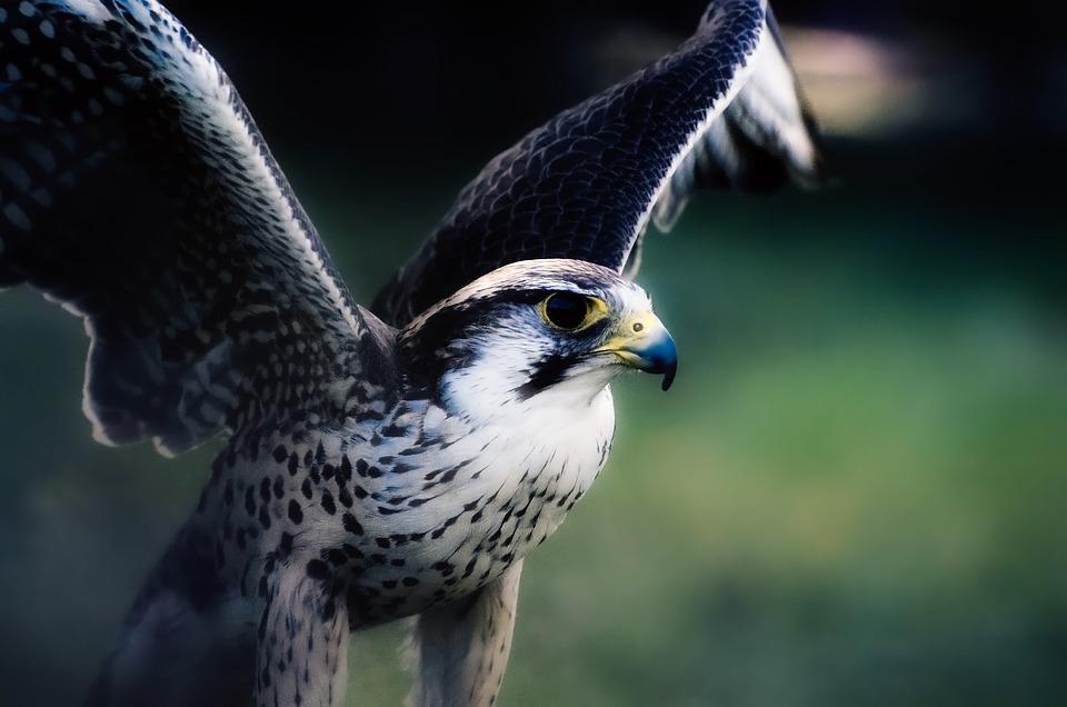 Hawk, Falcon, Bird, Wildlife, Predator, Macro, Closeup