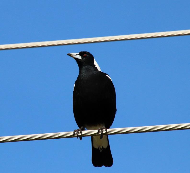 Magpie, Bird, Sitting, Wires, Perched, Wildlife, Nature