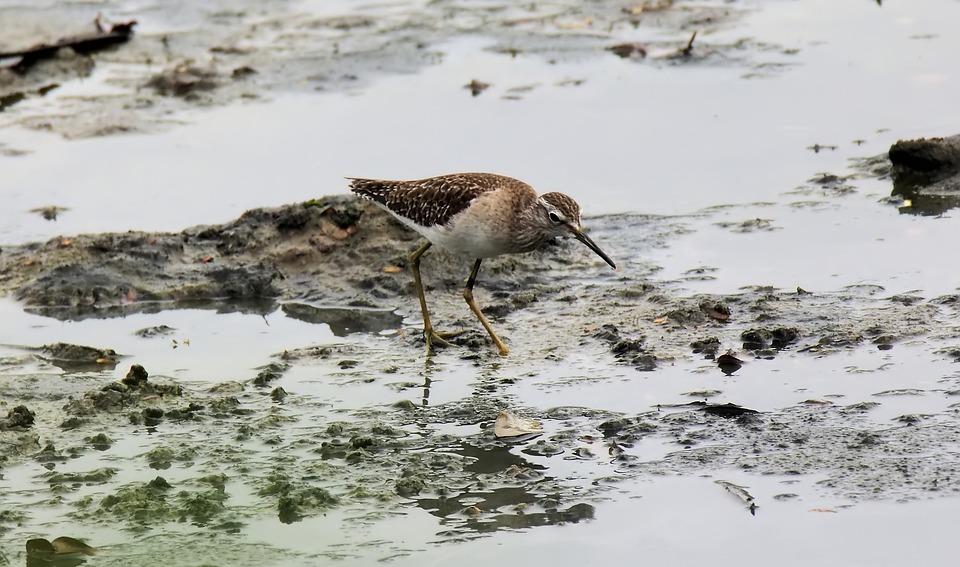 Migratory, Bird, Wild, Wildlife, Wetland, March, Wood