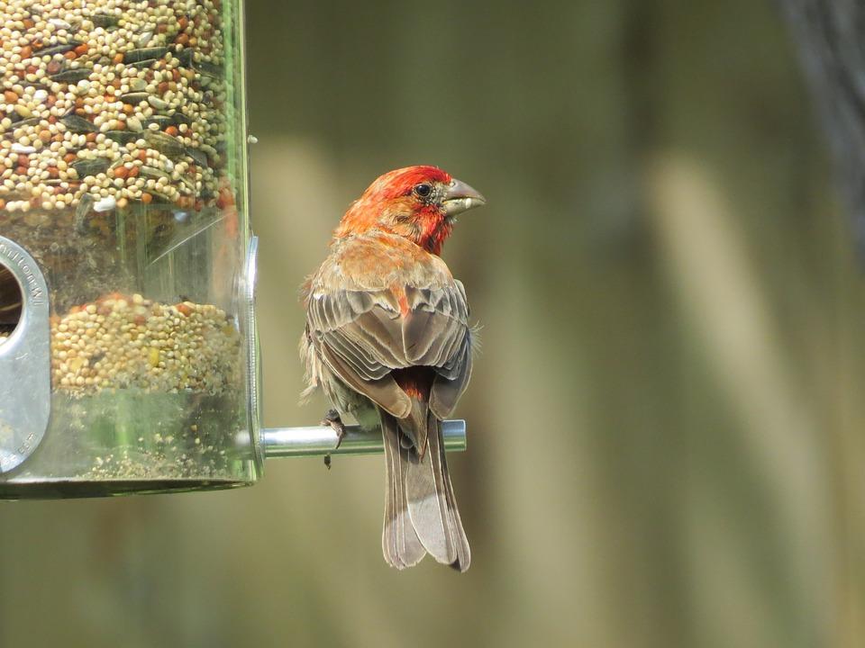 Bird, Scarlet And Gray, Wildlife