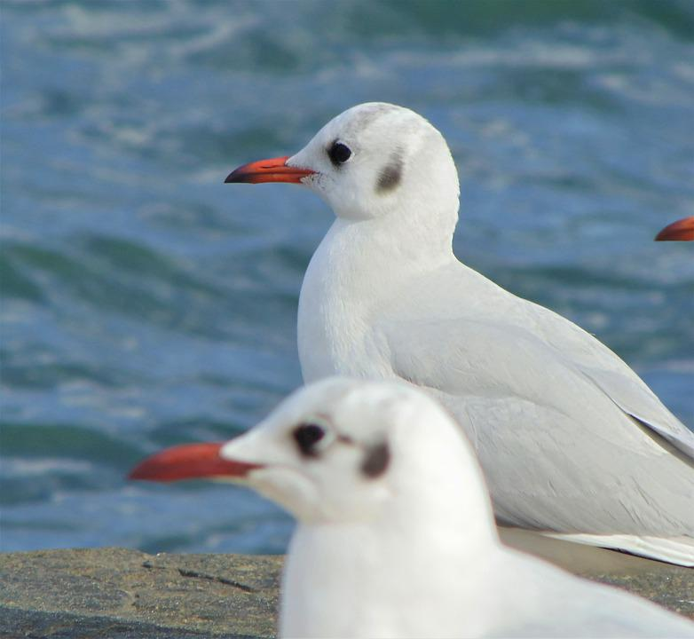Seagull, Bird, Coast, Animal, Gull, Seabird, Wildlife