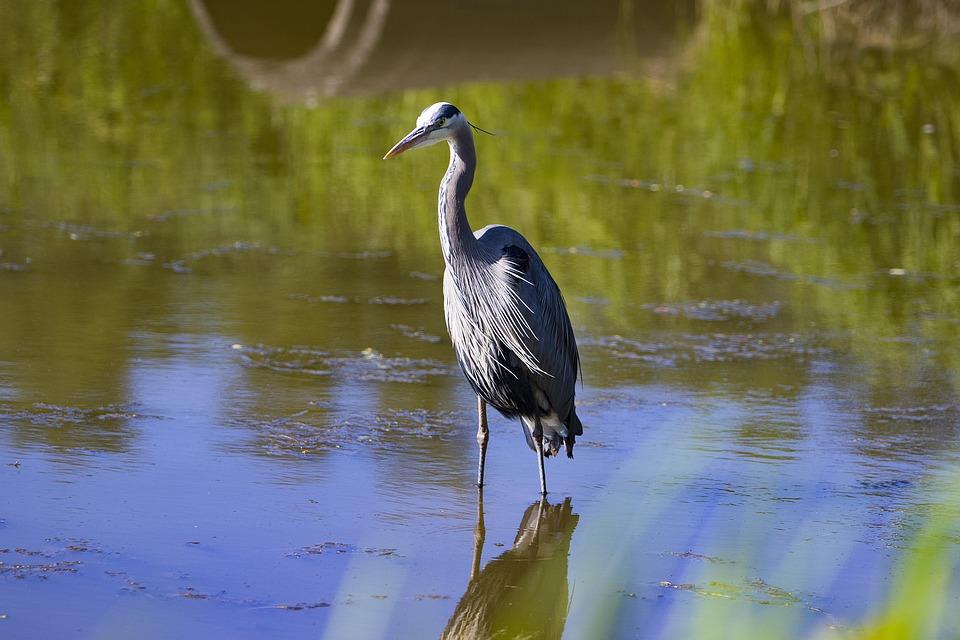 Blue Heron, Bird, Nature, Wildlife, Water, Blue, Beak