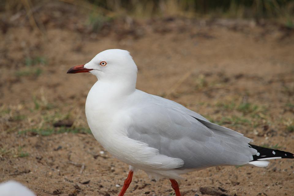 Bird, Seagull, Feather, Wild, Wildlife